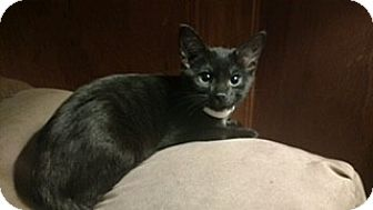 Domestic Shorthair Kitten for adoption in McHenry, Illinois - Bailey