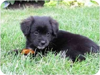 Marley-ADOPTED   Adopted Puppy   Naperville, IL   Spaniel ...  Marley-ADOPTED ...