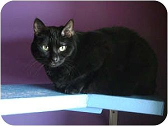 Domestic Shorthair Cat for adoption in Topeka, Kansas - Desirae