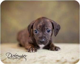 Boston Terrier Dachshund Mix Puppy for adoption in Vandalia Illinois
