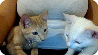 Domestic Shorthair Kitten for adoption in Brooklyn, New York - Ezio