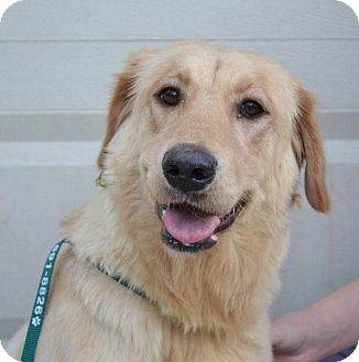 Golden Retriever/Labrador Retriever Mix Dog for adoption in Brattleboro, Vermont - Summit