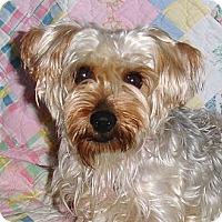 Adopt A Pet :: *Skylar - PENDING - Westport, CT