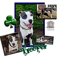 Adopt A Pet :: Trooper - Colleyville, TX