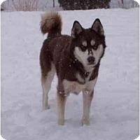 Adopt A Pet :: Lobo--CAT OK! - Belleville, MI