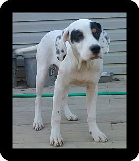 English Setter Mix Puppy for adoption in Columbus, Ohio - Roosevelt-ADOPTION PENDING!