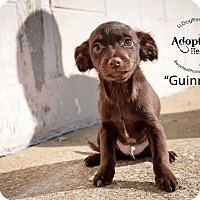 Adopt A Pet :: Guinness - Shawnee Mission, KS