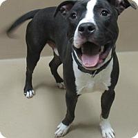 Adopt A Pet :: BLUE - Reno, NV