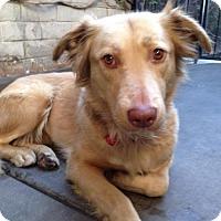 Adopt A Pet :: Honey - Santa Monica, CA