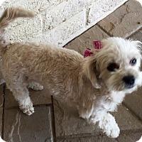 Adopt A Pet :: Pop Tart - Phoenix, AZ