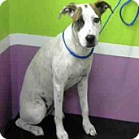 Adopt A Pet :: Spot - Fort Collins, CO