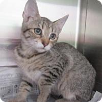 Adopt A Pet :: Destiny  $60 - North Richland Hills, TX