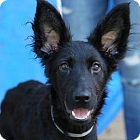 Adopt A Pet :: Audrey Hepburn - Brooklyn, NY