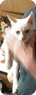 Domestic Shorthair Cat for adoption in Enid, Oklahoma - Snowball