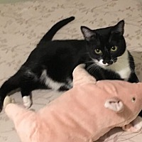 Domestic Shorthair Cat for adoption in St. Louis, Missouri - Cupcake