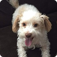 Cockapoo Mix Dog for adoption in San Diego, California - Lenny