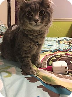Domestic Shorthair Cat for adoption in Johnson City, Tennessee - Frodo