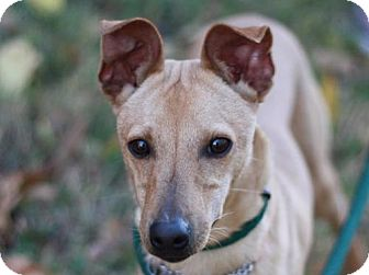 Italian Greyhound/Toy Fox Terrier Mix Dog for adoption in Cookeville, Tennessee - Jeffrey