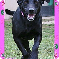 Labrador Retriever Mix Dog for adoption in Shippenville, Pennsylvania - Missy
