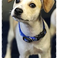 Jack Russell Terrier Mix Puppy for adoption in Los Alamitos, California - Bili