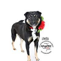Adopt A Pet :: SHEILA - Sherman Oaks, CA