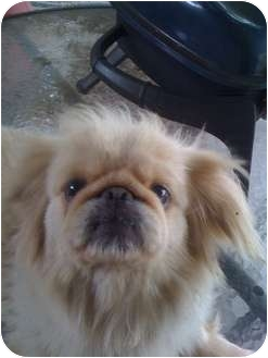 Pekingese Dog for adoption in Orlando, Florida - Pippa