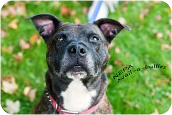 American Pit Bull Terrier Mix Dog for adoption in Hillsborough, New Jersey - Hogan