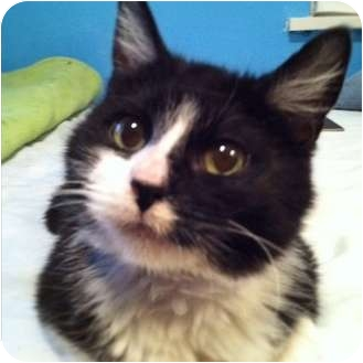 Domestic Shorthair Kitten for adoption in St. Louis, Missouri - Maggie Moo