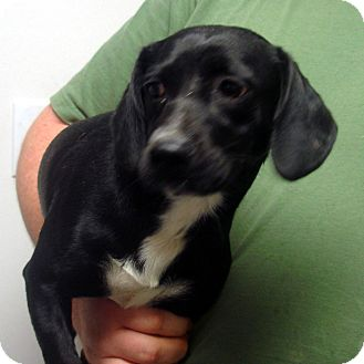 Dachshund/Beagle Mix Dog for adoption in baltimore, Maryland - Mr Fantastic