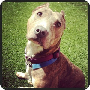 American Staffordshire Terrier Mix Dog for adoption in Chicago, Illinois - Una