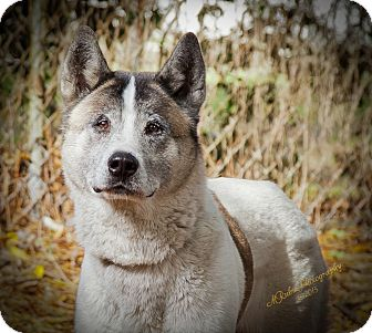 Akita Mix Dog for adoption in Jacksonville, Florida - Winnie