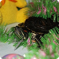 Turtle - Water for adoption in Des Moines, Iowa - Tortuga