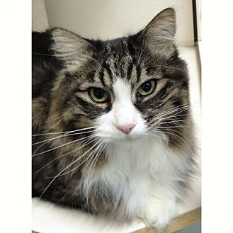 Domestic Longhair Cat for adoption in Midvale, Utah - Squirt