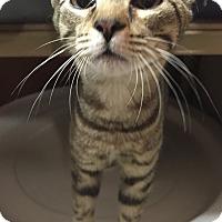 Adopt A Pet :: Duke - Morganton, NC