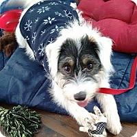 Adopt A Pet :: Kiki In Dallas ADOPTION PEND - Dallas/Ft. Worth, TX