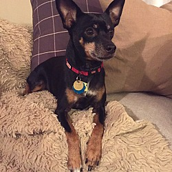Photo 1 - Miniature Pinscher Dog for adoption in Nashville, Tennessee - Mercedes