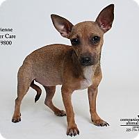 Adopt A Pet :: Vivienne (Foster) - Baton Rouge, LA