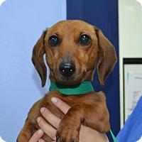 Adopt A Pet :: Moochie - Miami, FL