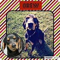 Adopt A Pet :: Crew - Columbia, MD
