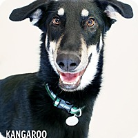 Adopt A Pet :: Kangaroo *In Foster* - Appleton, WI