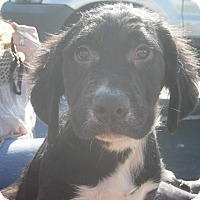 Adopt A Pet :: Cary Grant - Portland, ME