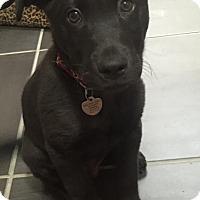 Adopt A Pet :: Hokie - Richmond, VA