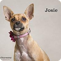 Adopt A Pet :: Josie - Chandler, AZ