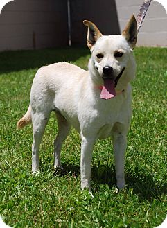 Chihuahua/Terrier (Unknown Type, Medium) Mix Dog for adoption in Coeburn, Virginia - Sugar