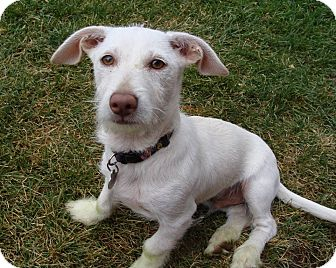 Terrier (Unknown Type, Small)/Chihuahua Mix Puppy for adoption in Hurricane, Utah - Mr. T