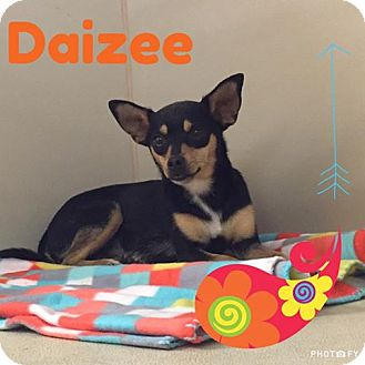 Miniature Pinscher Mix Dog for adoption in Snyder, Texas - Daizee
