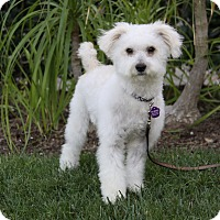 Maltese/Poodle (Miniature) Mix Dog for adoption in Newport Beach, California - SPENCE