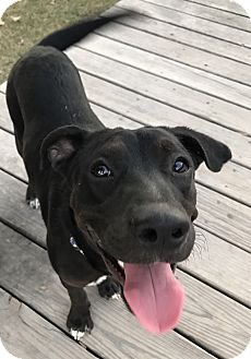 Labrador Retriever Mix Dog for adoption in Brattleboro, Vermont - Boomer