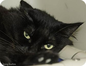 Domestic Longhair Cat for adoption in Herndon, Virginia - Minnie Mouse