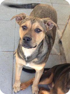 German Shepherd Dog Mix Puppy for adoption in Leesville, South Carolina - Charlie